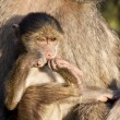 Baby baboon sitting on his mother's lap — Stock Photo