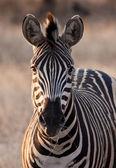 Zebra at dusk in low light eating grass — Stock Photo