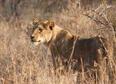 Hombre león en pasto seco — Foto de Stock