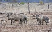 Warthog rodina v suché trávě — Stock fotografie