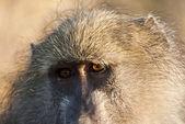 Primer plano de babuino mirando — Foto de Stock