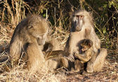 Baboon family sitting on the side of a road — Stock Photo