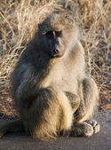 Baboon sitting on the road early in the morning — Stock Photo