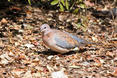 Laughing dove walking on dead leaves — Stock Photo