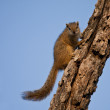 Stock Photo: Tree squirrel climbing up a branch