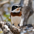 Chin spot batis sitting in a tree — Stock Photo