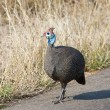 Guineafowl walking on tar road - Stock Photo