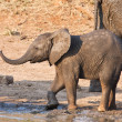 Wet elephant calf playing at the water hole — Stock Photo