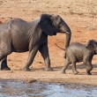 Wet elephant cow and calf playing at the water hole — Stock Photo #5481675