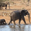 Elephant mother and calve leaving waterhole — Stock Photo