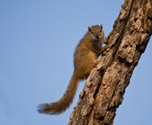 Tree squirrel climbing up a branch — Стоковое фото