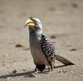 Yellow billed hornbill walking on the ground — Stock Photo