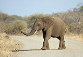 Young elephant crossing the road — Stock Photo