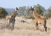 Two young giraffes in the bush — Stock Photo