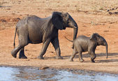 Wet elephant cow and calf playing at the water hole — Stock Photo