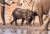 Elephant calf walking past a water hole — Stock Photo
