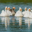 Stockfoto: Flock of geese on pond