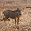 Warthog piglet standing in dry grass - Stock Photo