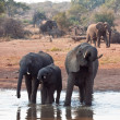Herd of elephant drinking water - Stock Photo