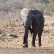 Stock Photo: Elephant bull with large tusks approaching