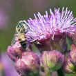 Stock Photo: Macro of bee on purple flower detail