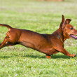 Dachshund running on green grass - Stock Photo