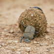 Dungbeetle rolling a ball of dung - Stock Photo