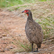 Swainsons francolin standing in long grass - Stock Photo