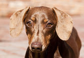 Closeup of brown Dachshund in sunlight — Stock Photo