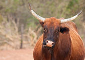 Vache brune, marchant le long d'une route en Afrique — Photo