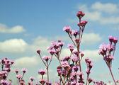 紫色的花,对蓝蓝的天空 — 图库照片