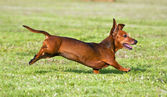 Dachshund running on green grass — Stok fotoğraf