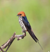 Lesser striped swallow sitting on perch — Stock Photo