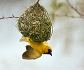 Weaver building a nest in a tree — Stock Photo