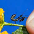 Macro Small black praying mantis on yellow flower — Stock Photo