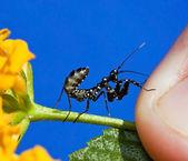 Makro mały czarny modląc modliszka na żółty kwiat — Zdjęcie stockowe