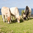 Three cows eating grass with ocean in background - Stockfoto