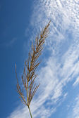 Grass closeup against blue sky with backlighting — Stock Photo