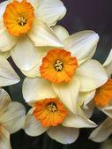 Buquê de narcisos amarelos — Foto Stock