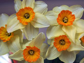 Bouquet of yellow daffodils — Stock Photo