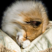 Cute Puppy Curled Up Asleep — Stock Photo