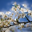 Blossom tree branch during the sprint — Stock Photo