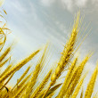 Abstract view of wheat ears — Stock Photo