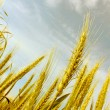 Abstract view of wheat ears - Stock Photo
