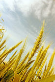 Abstract view of wheat ears — Stok fotoğraf