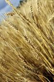 épis de blé d'or avant la récolte — Photo