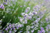 Purple lavender — Stock Photo