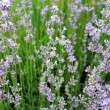 Stock Photo: Purple lavender