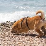 Sharpei in beach — Stock Photo