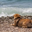 Sharpei in beach — Stock Photo